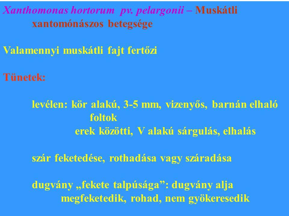 Xanthomonas hortorum pv. pelargonii – Muskátli xantomónászos betegsége Valamennyi muskátli fajt fertőzi Tünetek: levélen: kör alakú, 3-5 mm, vizenyős,