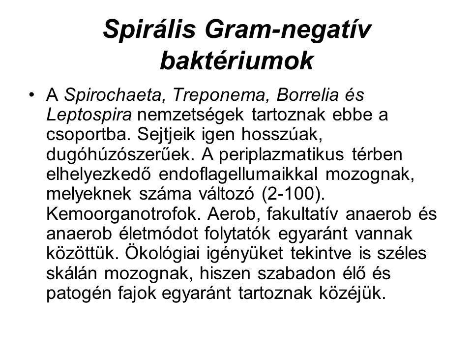 Spirális Gram-negatív baktériumok A Spirochaeta, Treponema, Borrelia és Leptospira nemzetségek tartoznak ebbe a csoportba. Sejtjeik igen hosszúak, dug