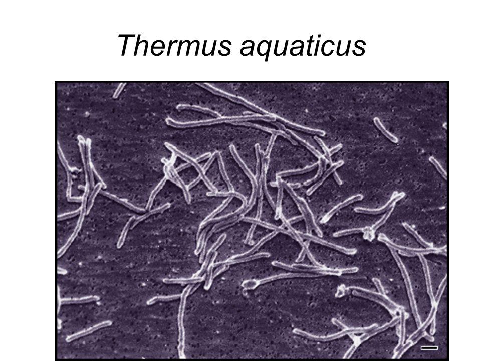 Thermus aquaticus