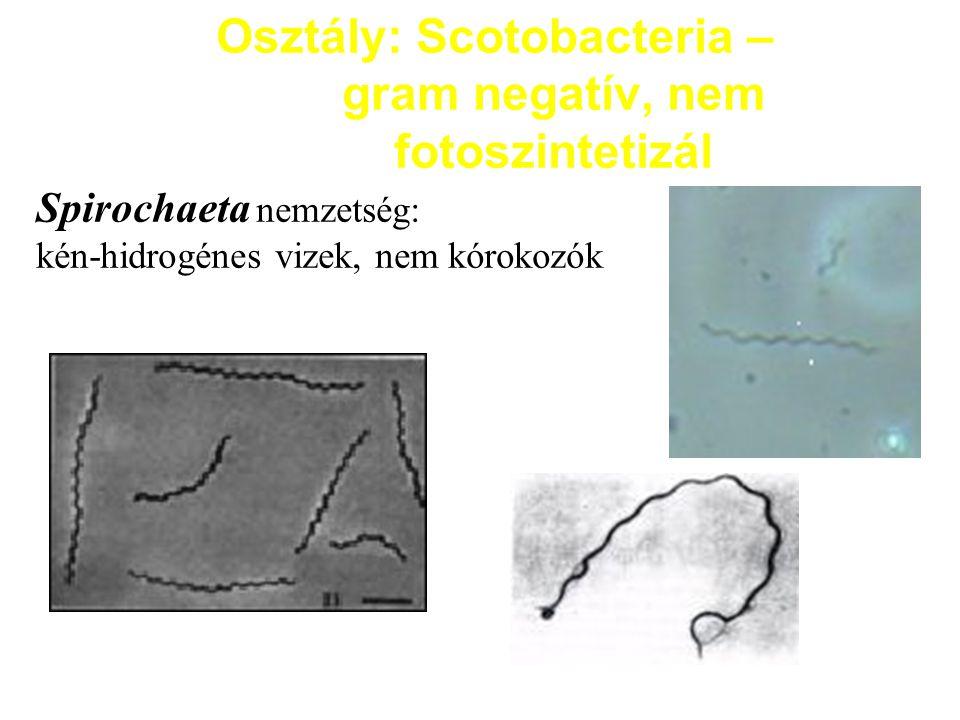 Fakultatív anaerob Gram-negatív pálcák Ez is igen nagy, heterogén csoport.