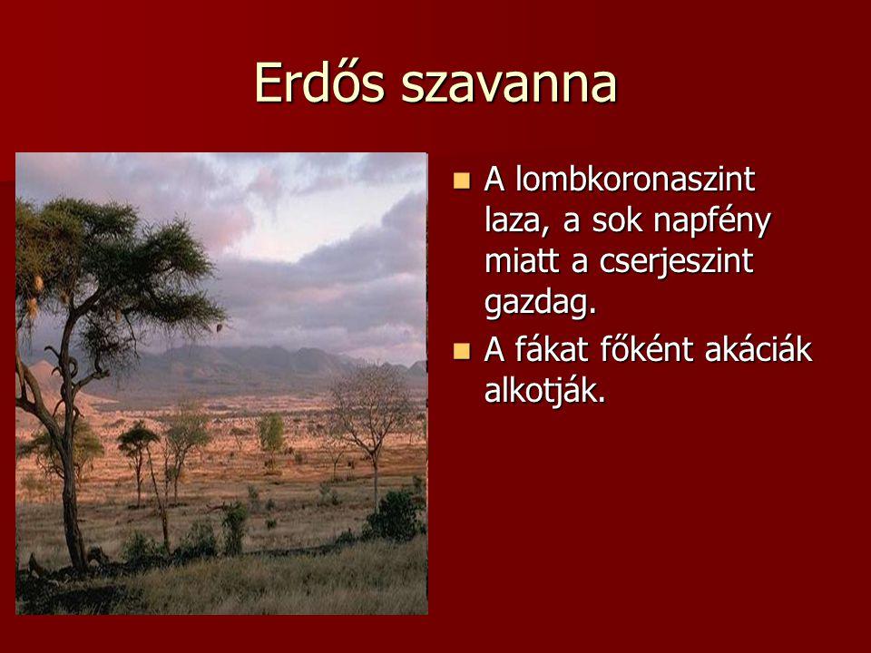 Erdős szavanna A lombkoronaszint laza, a sok napfény miatt a cserjeszint gazdag. A lombkoronaszint laza, a sok napfény miatt a cserjeszint gazdag. A f