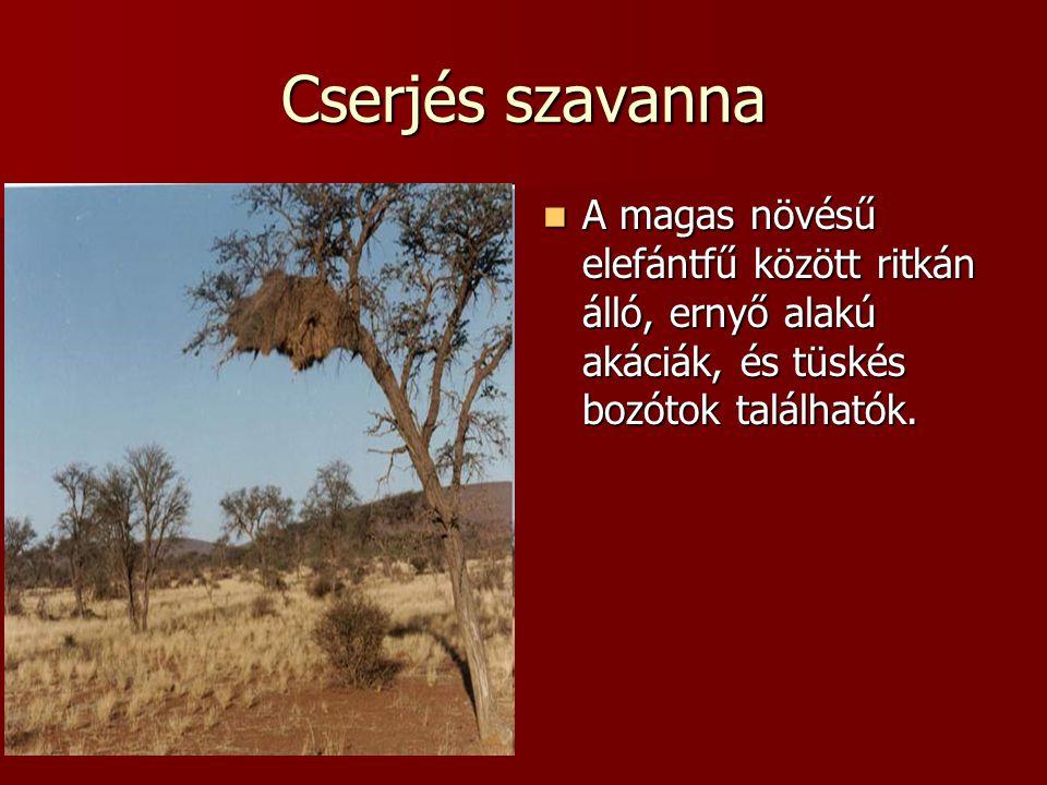 Cserjés szavanna A magas növésű elefántfű között ritkán álló, ernyő alakú akáciák, és tüskés bozótok találhatók.
