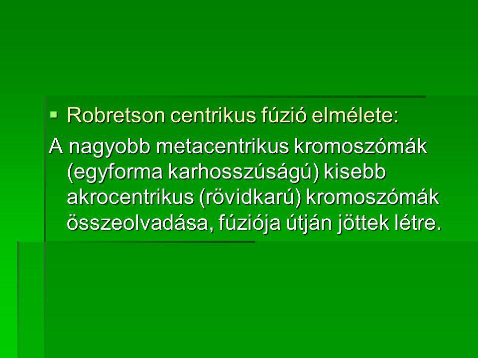  Robretson centrikus fúzió elmélete: A nagyobb metacentrikus kromoszómák (egyforma karhosszúságú) kisebb akrocentrikus (rövidkarú) kromoszómák összeolvadása, fúziója útján jöttek létre.