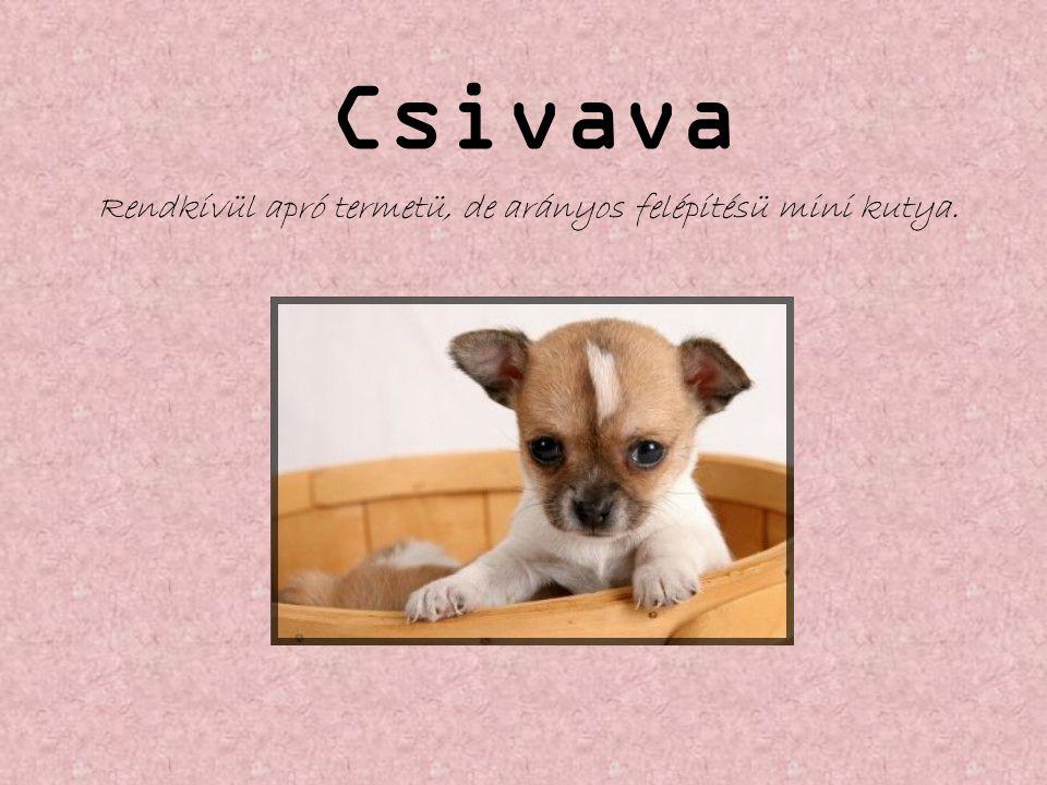 Csivava Rendkívül apró termetü, de arányos felépítésü mini kutya.