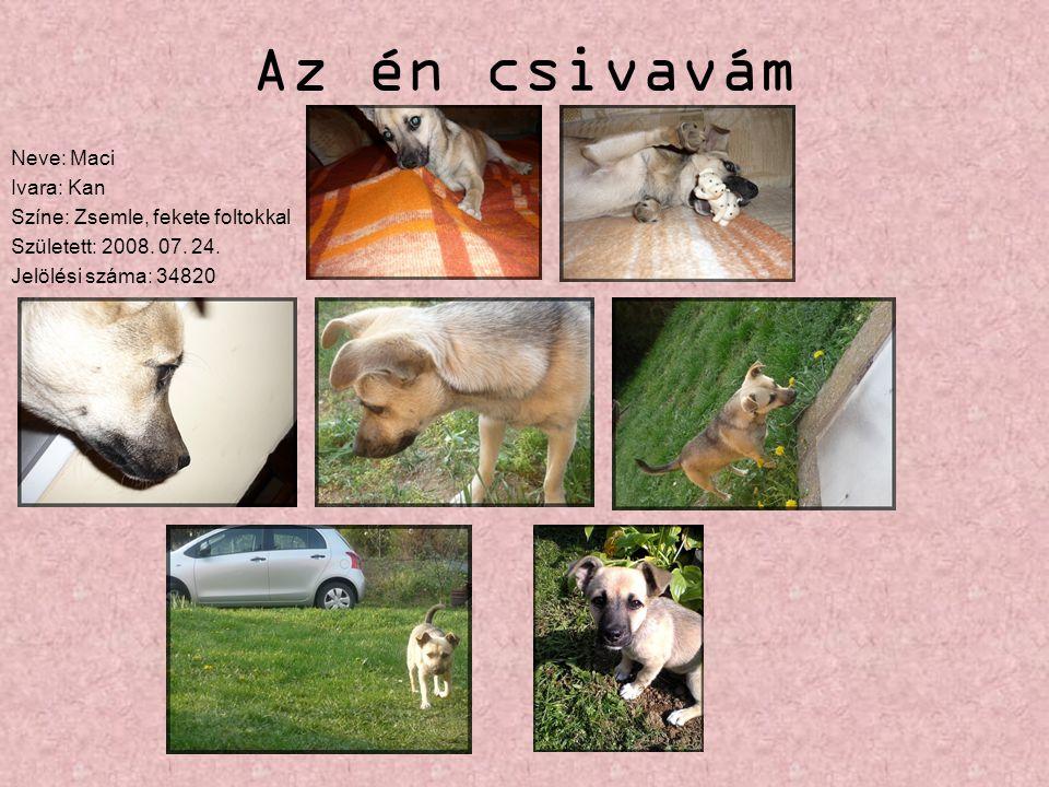 Az én csivavám Neve: Maci Ivara: Kan Színe: Zsemle, fekete foltokkal Született: 2008. 07. 24. Jelölési száma: 34820