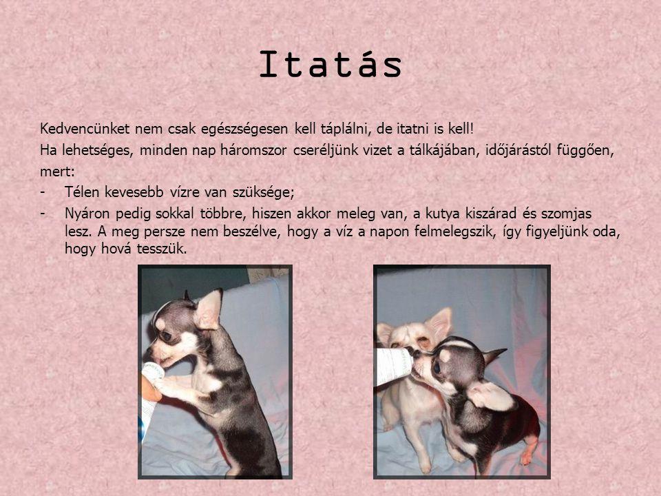 Érdekességek a csivaváról A csivava… …könnyezős kutyafajta, így szemét rendszeresen ápolni kell.