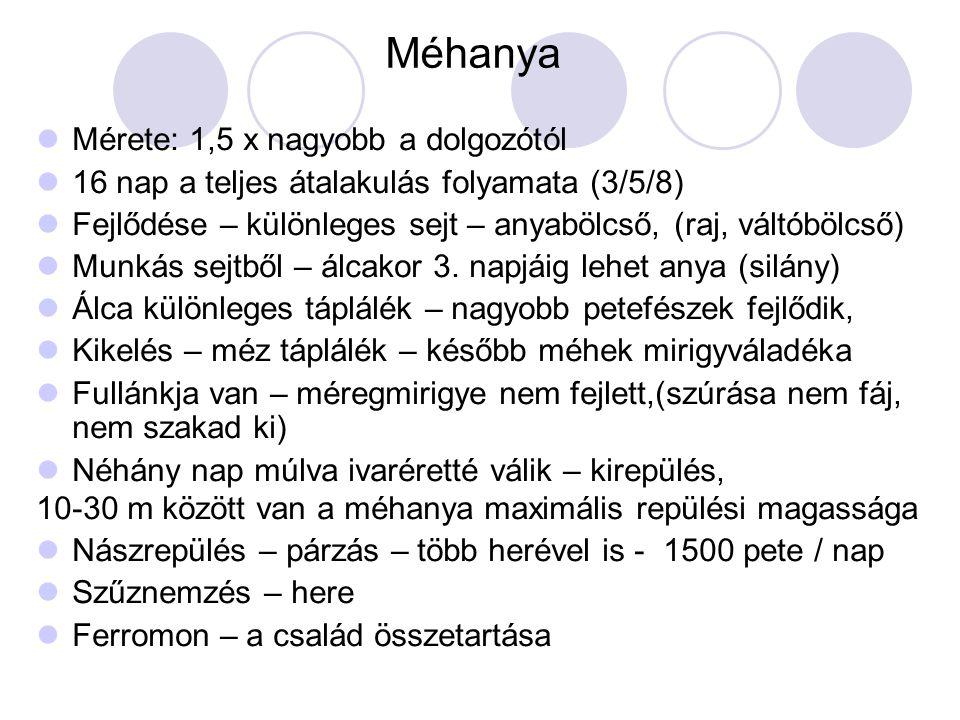 Méhanya Mérete: 1,5 x nagyobb a dolgozótól 16 nap a teljes átalakulás folyamata (3/5/8) Fejlődése – különleges sejt – anyabölcső, (raj, váltóbölcső) M