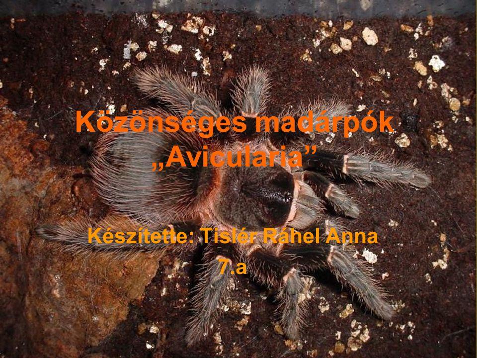 """Közönséges madárpók """"Avicularia"""" Készítette: Tislér Ráhel Anna 7.a"""