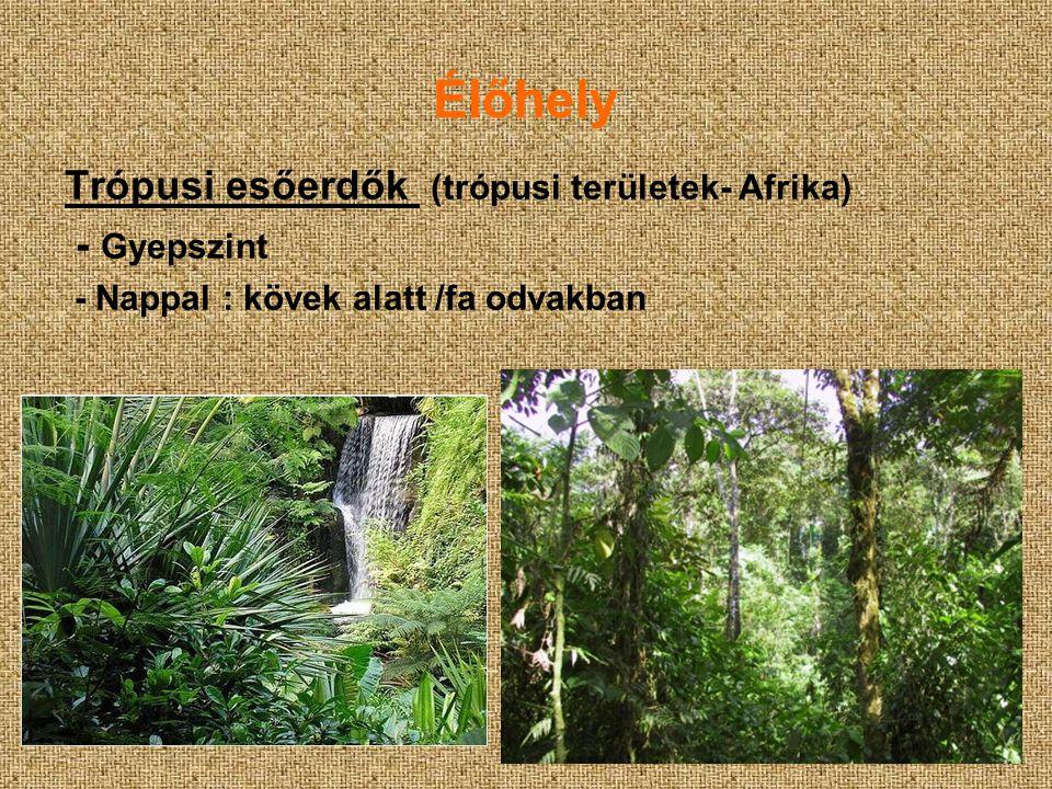 Élőhely Trópusi esőerdők (trópusi területek- Afrika) - Gyepszint - Nappal : kövek alatt /fa odvakban
