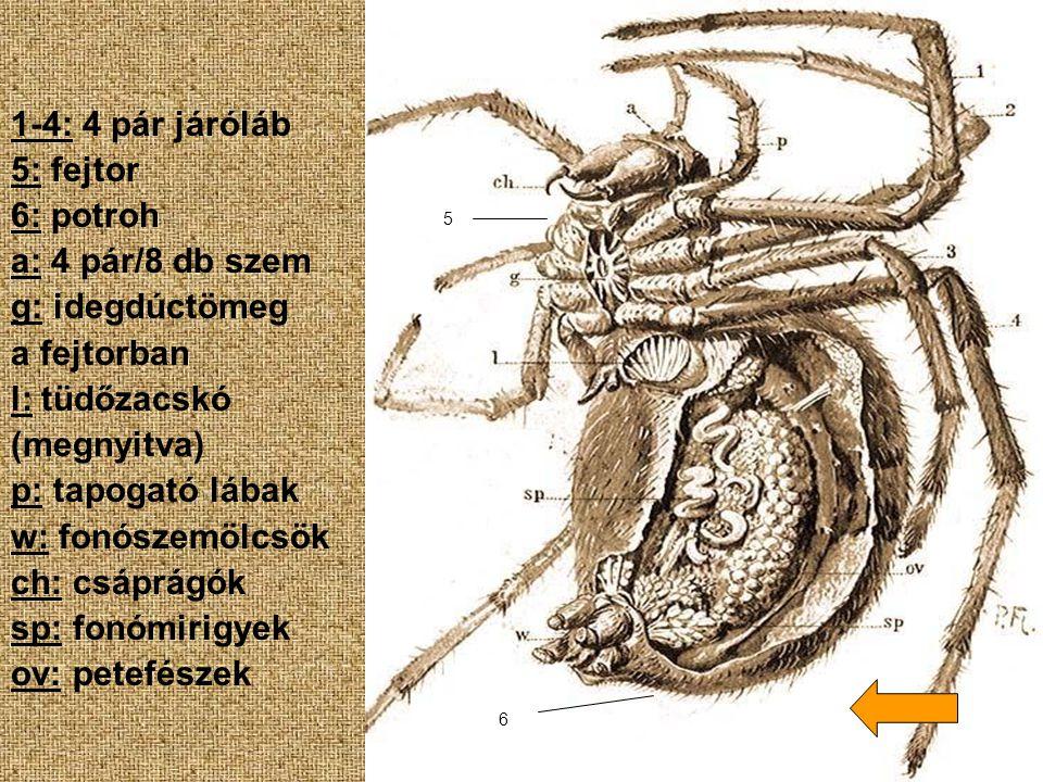 1-4: 4 pár járóláb 5: fejtor 6: potroh a: 4 pár/8 db szem g: idegdúctömeg a fejtorban l: tüdőzacskó (megnyitva) p: tapogató lábak w: fonószemölcsök ch
