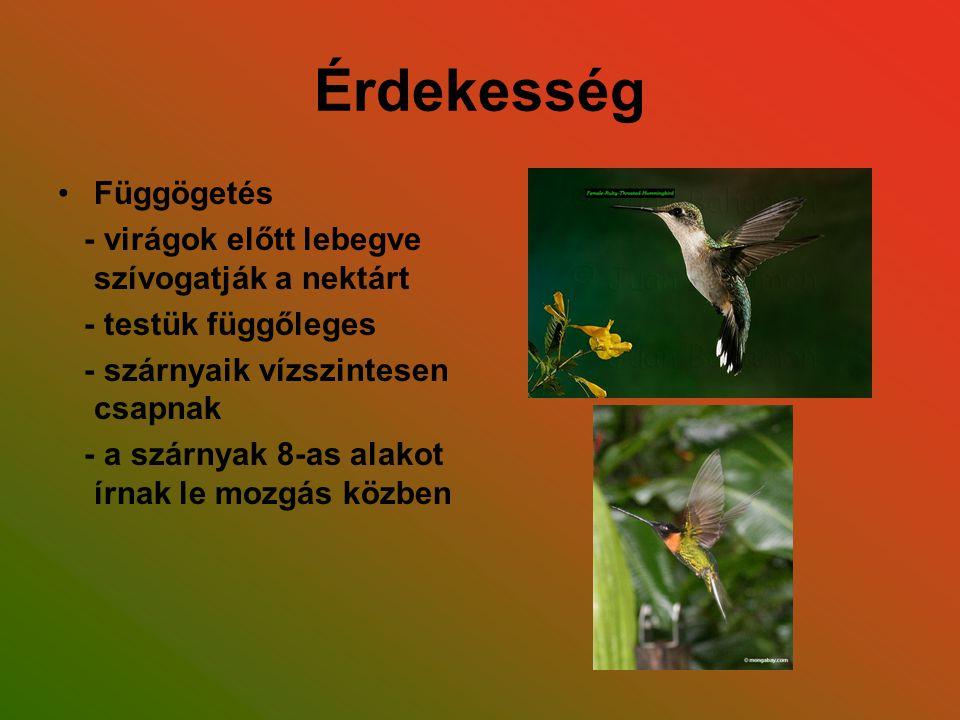 Érdekesség Függögetés - virágok előtt lebegve szívogatják a nektárt - testük függőleges - szárnyaik vízszintesen csapnak - a szárnyak 8-as alakot írna