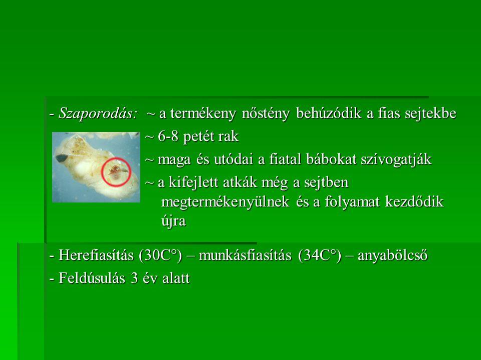 - Szaporodás: ~ a termékeny nőstény behúzódik a fias sejtekbe ~ 6-8 petét rak ~ maga és utódai a fiatal bábokat szívogatják ~ a kifejlett atkák még a
