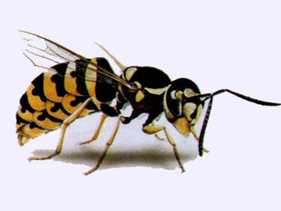 Franciadarázs, németdarázs kártételük, hogy lopják a mézet, élő méhet ritkán bántanak,