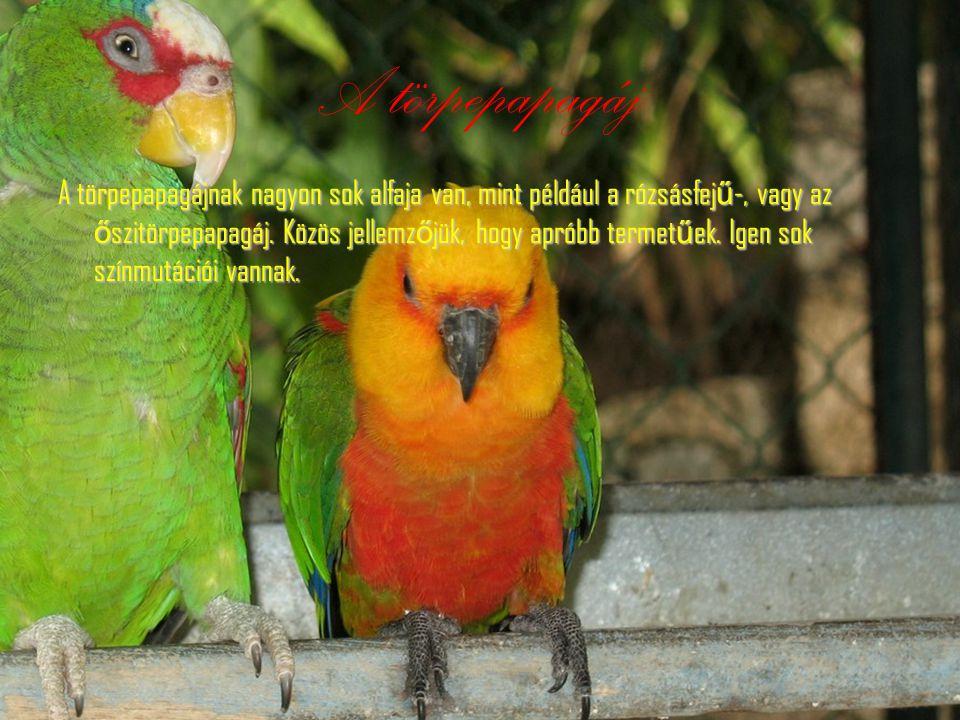 Amazon papagáj Hossza 38 centiméter, szárnya 22 centiméter. Feje búbja sárga némelyik alfajánál a nyaka is. Tollazata színében a zöld szín dominál.