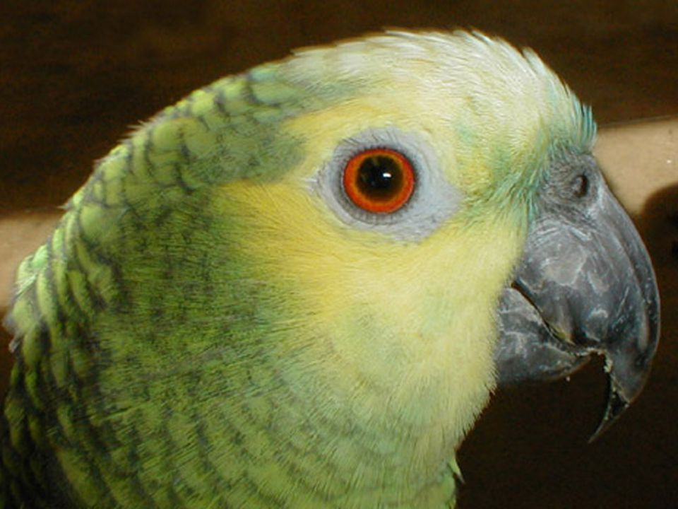 Hullámos papagáj Ausztráliai hazájában olyan közönséges madár, mint nálunk a veréb. Neki is nagyon sok színmutációja van, de a legelterjettebb a sárga