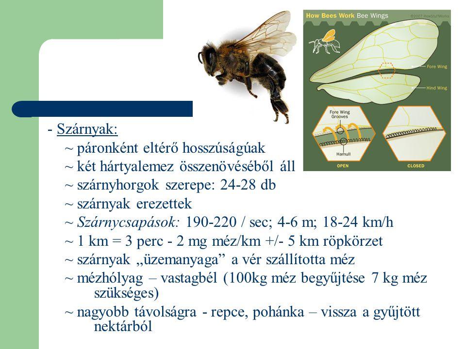 - Szárnyak: ~ páronként eltérő hosszúságúak ~ két hártyalemez összenövéséből áll ~ szárnyhorgok szerepe: 24-28 db ~ szárnyak erezettek ~ Szárnycsapáso