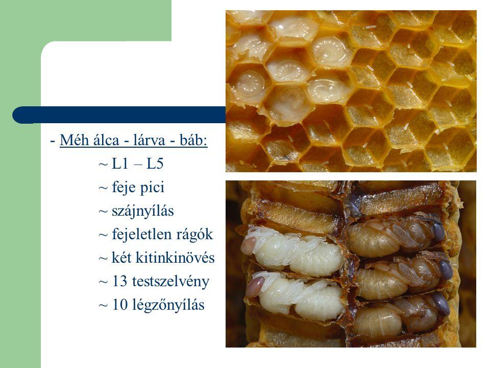 - Méh álca - lárva - báb: ~ L1 – L5 ~ feje pici ~ szájnyílás ~ fejeletlen rágók ~ két kitinkinövés ~ 13 testszelvény ~ 10 légzőnyílás