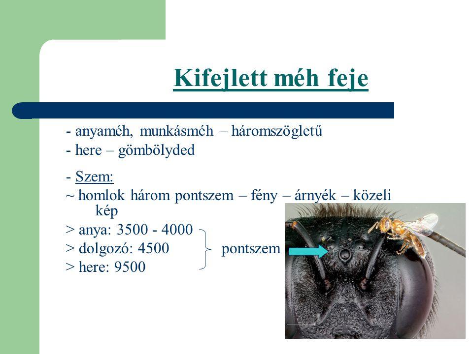 Kifejlett méh feje - anyaméh, munkásméh – háromszögletű - here – gömbölyded - Szem: ~ homlok három pontszem – fény – árnyék – közeli kép > anya: 3500