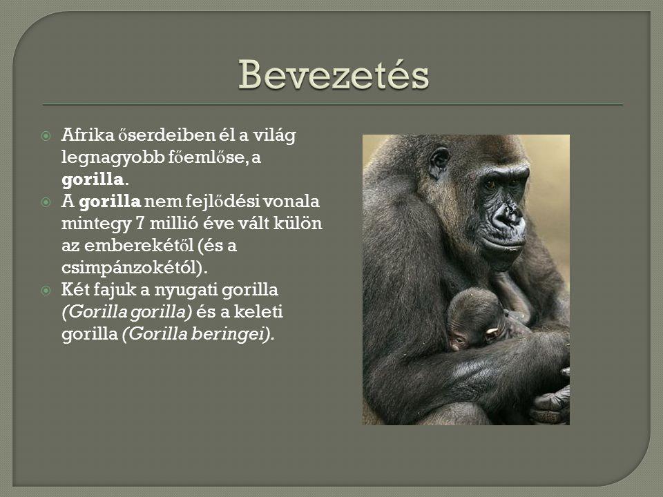  Afrika ő serdeiben él a világ legnagyobb f ő eml ő se, a gorilla.