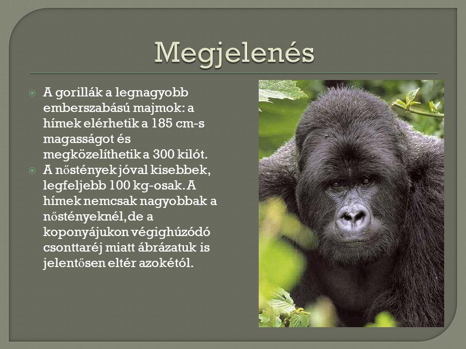  A gorillák a legnagyobb emberszabású majmok: a hímek elérhetik a 185 cm-s magasságot és megközelíthetik a 300 kilót.