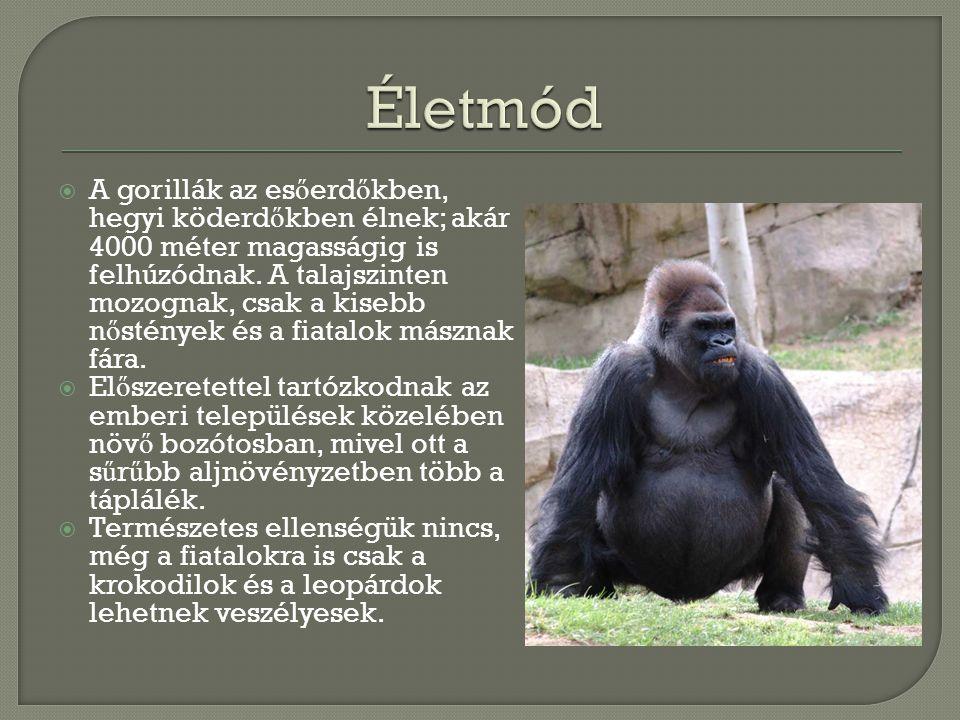  A gorillák táplálékában sok a gyümölcs, leveleket, rügyeket is esznek.