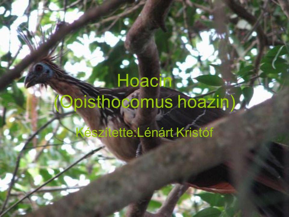 Hoacin (Opisthocomus hoazin) Készítette:Lénárt Kristóf