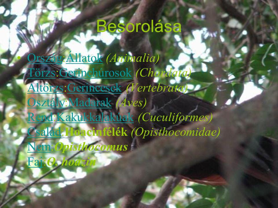 Besorolása Ország:Állatok (Animalia) Törzs:Gerinchúrosok (Chordata) Altörzs:Gerincesek (Vertebrata) Osztály:Madarak (Aves) Rend:Kakukkalakúak (Cuculiformes) Család:Hoacinfélék (Opisthocomidae) Nem:Opisthocomus Faj:O.