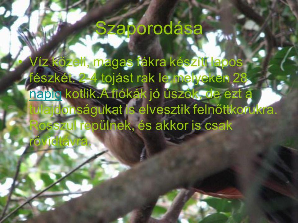 Szaporodása Víz közeli, magas fákra készíti lapos fészkét.