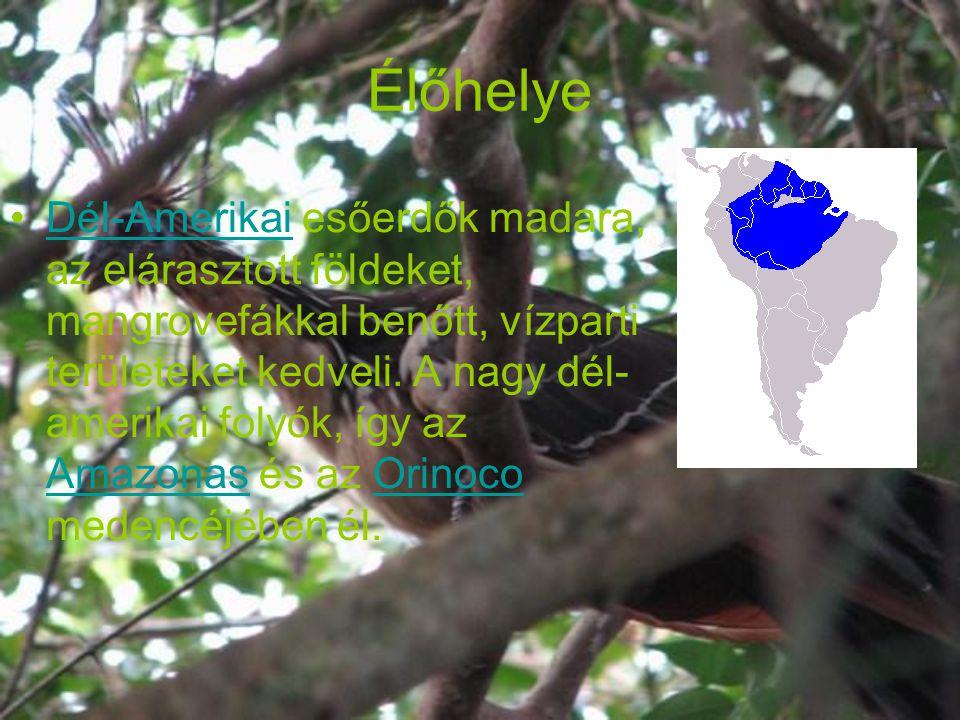 Élőhelye Dél-Amerikai esőerdők madara, az elárasztott földeket, mangrovefákkal benőtt, vízparti területeket kedveli. A nagy dél- amerikai folyók, így