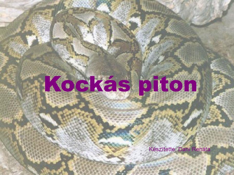 Kockás piton Élőhely - Forró trópusokon, és sivatagokon élnek Délkelet Ázsiában - Besorolás: Gerincesek - Hüllők - Pikkelyes hüllők - Óriáskígyófélék