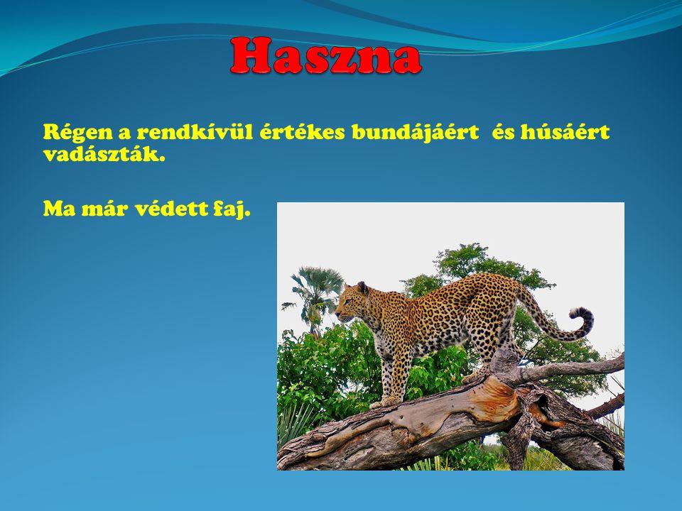 Régen a rendkívül értékes bundájáért és húsáért vadászták. Ma már védett faj.