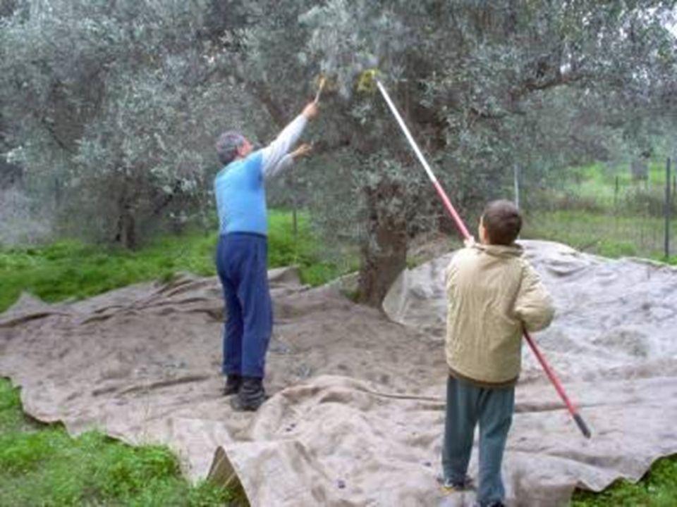 Oliva Az olivabogyó alakja a petefészekhez hasonlít Többek közt annak működését is elősegíti!