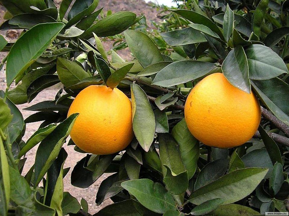 Citrusfélék A grépfruit, narancs, citrusfélék hasonlítanak az emlőkre, Elfogyasztásuk az emlők nyirokrendszerére jótékony hatást fejtenek ki!