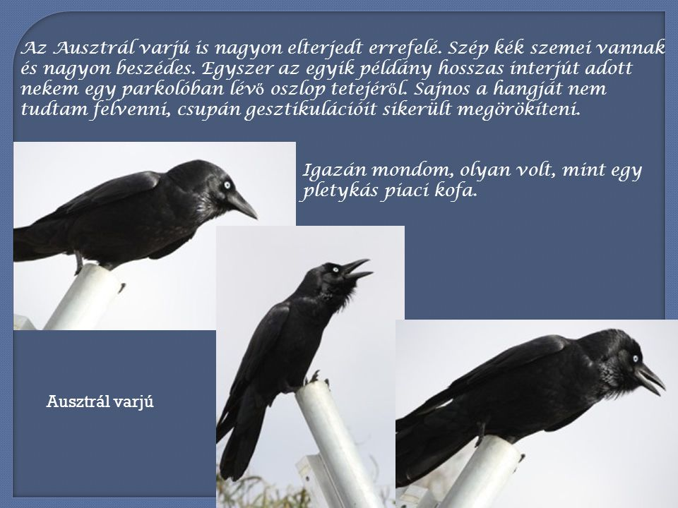 Kis magpie-ként is emlegetik a Szarkapacsirtát, mely már jobban hasonlít a szarkához, csak jóval kisebb nála.