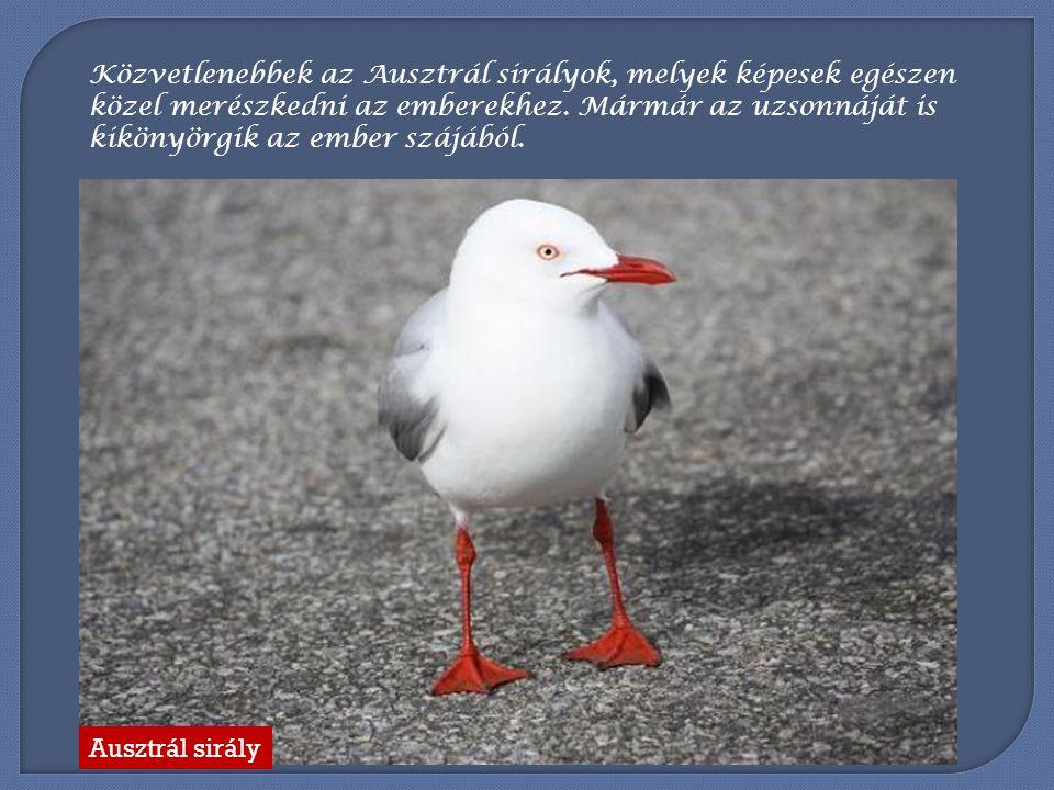 Ugyancsak a kiköt ő k és a vízpartok madarai a sirályok. Ausztrál sirály