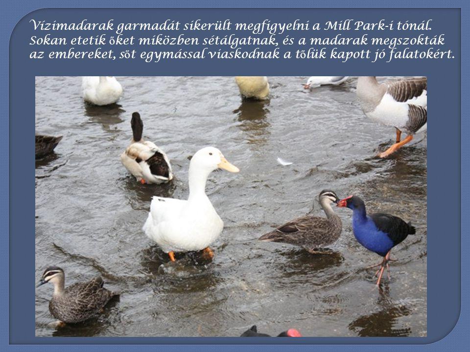 Szereti az ember közelségét az Ausztrál pelikán is.
