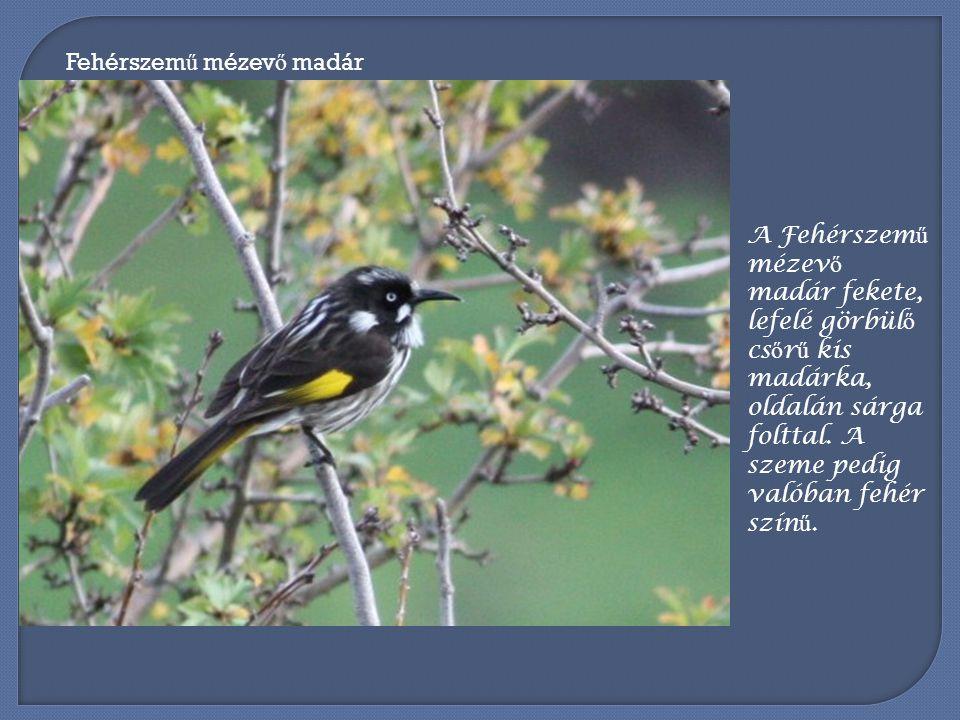 Különös kis madárkákat sikerült elég jól megörökíteni a Plenty Gorge Nemzeti Parkban.
