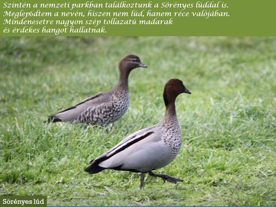 Ugyancsak aprócska egy zöldes hátú madár, melynek cs ő re és a cs ő rt ő l a szem fölött húzódó sávban nagyon élénkpirosak a tollai, akárcsak a farok tövén található tollak.