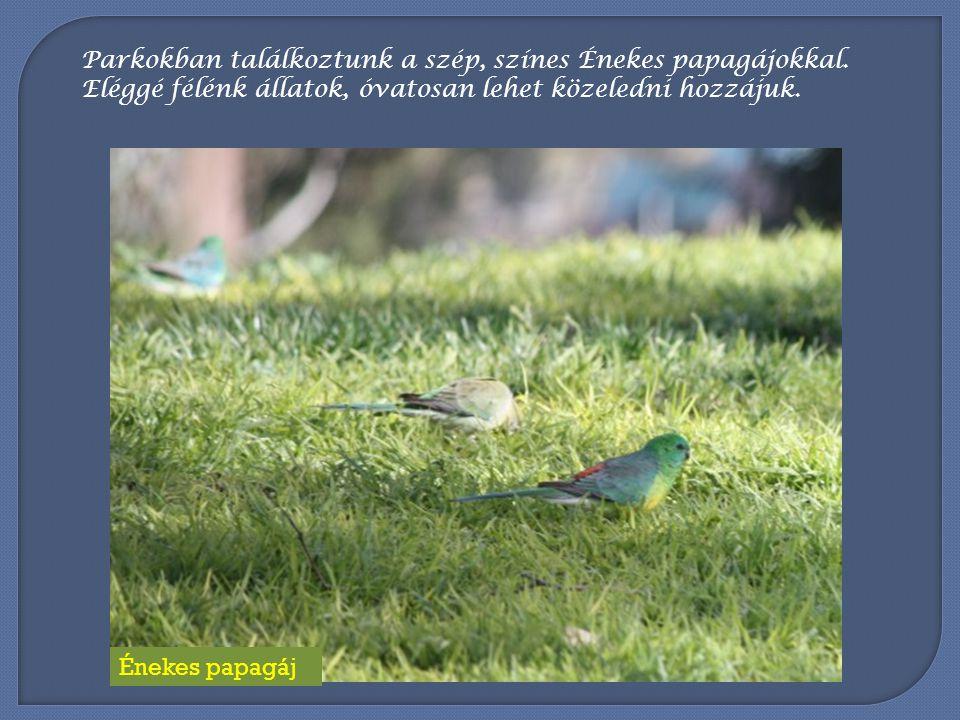 Közeli rokonaikkal, a Rózsás kakadukkal is sokszor lehet találkozni, bár ő k nem olyan nagy csapatban jelennek meg.