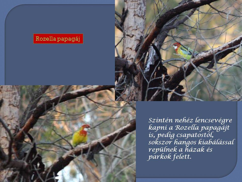 Az itt látható Pennant papagájt az Olindában található Kakukk vendégl ő hatalmas üvegablakán keresztül örökítettük meg.