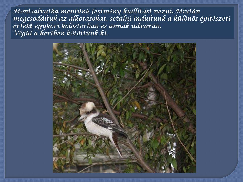 Számomra a legnagyobb élmény madármegfigyeléseim alkalmával az volt, amikor sikerült egészen közel kerülnöm egy Kookaburra-hoz, más nevén a Kacagó Jancsihoz.