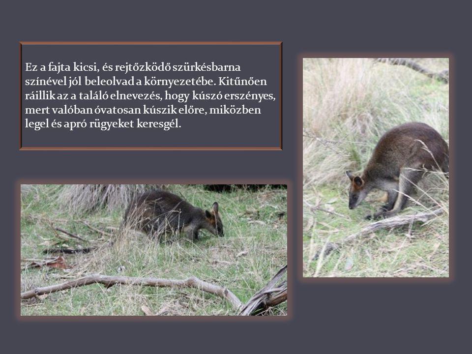 A Wallaby, vagy Mocsári kenguru nevével ellentétben nem mocsarakban él. Igénytelen kis állat, viszonylag kopár területeken is megél, de főként a kiseb
