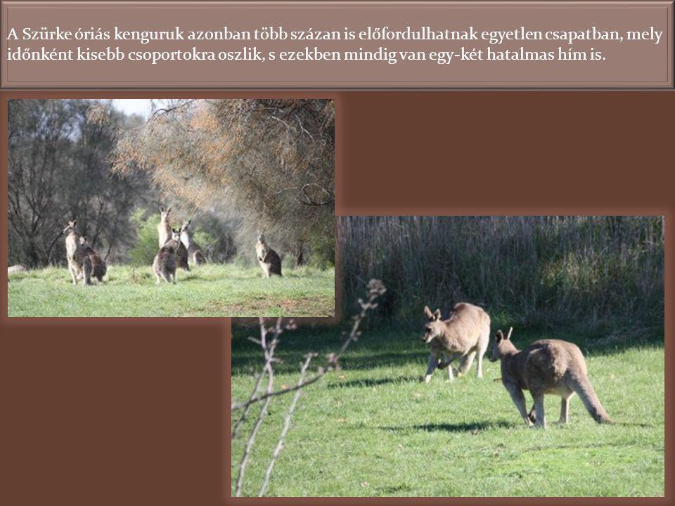 A Wallabykat párban láttuk, s a párok egymástól jól elkülönülve legeltek, nem pedig nagy csapatban.