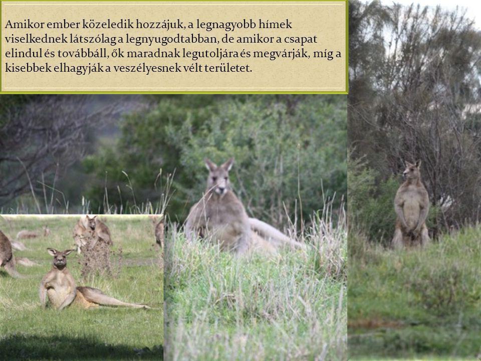 A Szürke óriás kenguruk azonban több százan is előfordulhatnak egyetlen csapatban, mely időnként kisebb csoportokra oszlik, s ezekben mindig van egy-k