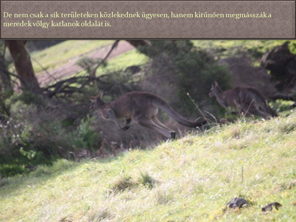 A kenguruk hatalmas ugrásokkal haladnak és szinte semmi nem állhatja az útjukat. Még az ilyen kerítés sem, ahol éppen a fénykép elkészülte előtt pár p