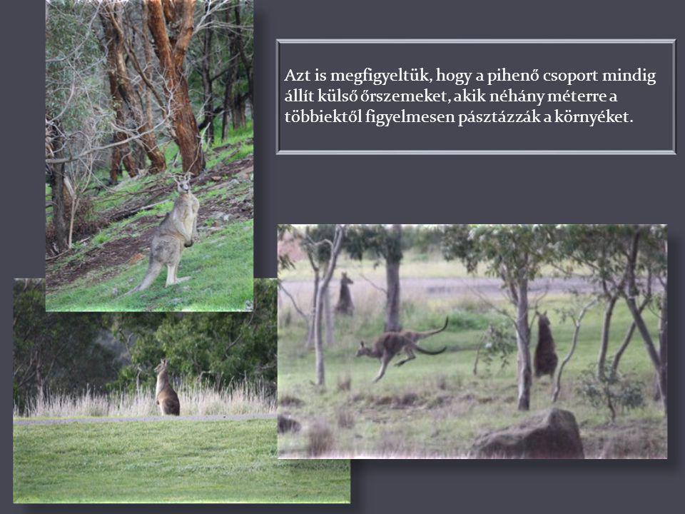 A kenguruk növényevő állatok. Rövid mellső lábaikon hatalmas, erős karmok vannak, melyek segítségével a földből képesek gyökereket, gumókat kikaparni,