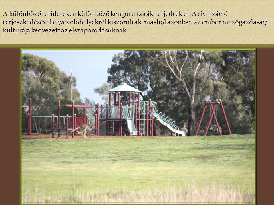 A kenguruk Ausztráliában és az Óceániai szigetvilágban élő erszényes emlős állatok. Az Európából érkezők egyik legnagyobb vágya, hogy személyesen talá