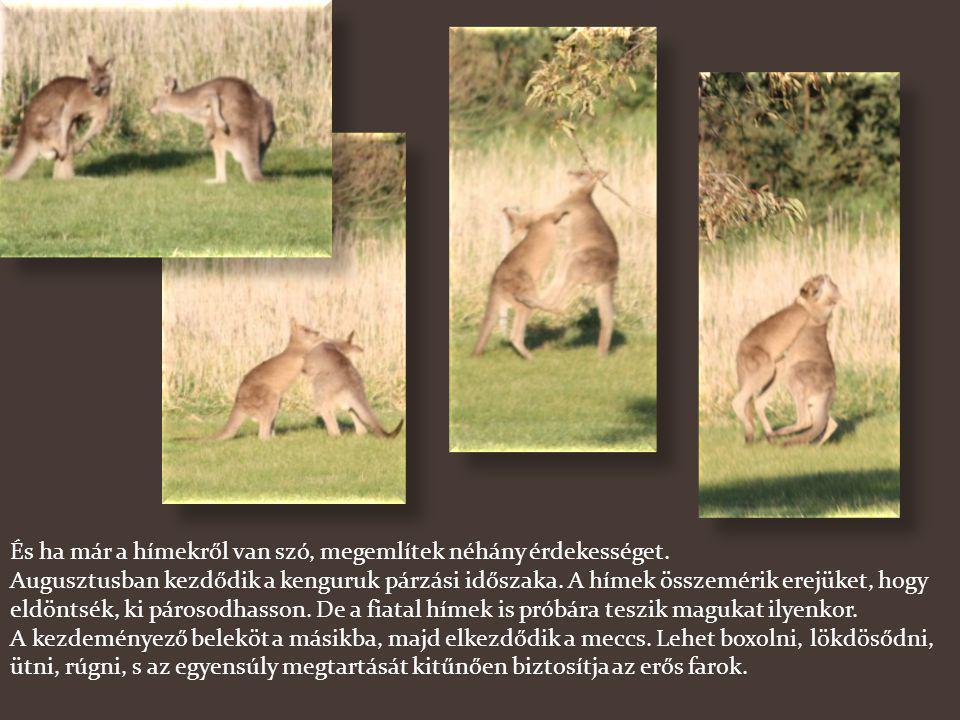 A kenguru nagyságát az orrtól a farok tőig mérik és ehhez adják még hozzá a farok hosszát. Így azonban a méret egy kissé csalóka. Ez a mérete ugyanis