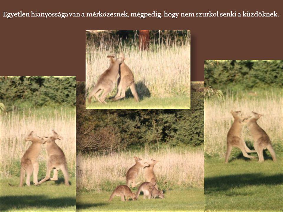 És ha már a hímekről van szó, megemlítek néhány érdekességet. Augusztusban kezdődik a kenguruk párzási időszaka. A hímek összemérik erejüket, hogy eld