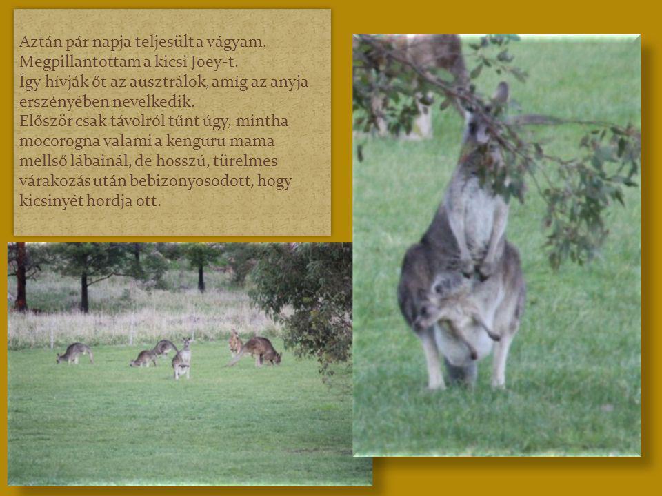Hónapok teltek el, sok fényképet készítettünk és úgy fogtam hozzá a kengurus pps elkészítéséhez, hogy a mamája zsebéből nézelődő kicsi kengurut nem is